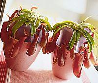 Dzbanecznik (Nepenthes)