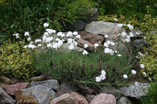 Rośliny na skalniak: goździk siny