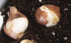 Szkodniki roślin cebulowych: niszczyk zjadliwy, poskrzypka liliowa i inne. Jak je zwalczać?
