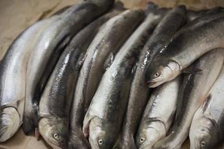 Para czyni cuda - ryby